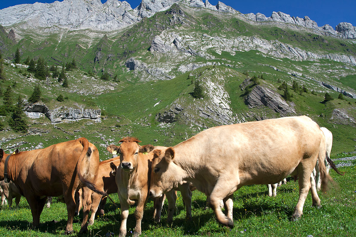 The famous swiss cows will be our companions in the valleys